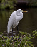 Большой Egret садить на насест на дереве Стоковые Изображения