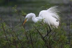 Большой Egret садить на насест на Rookery Техаса Стоковое Изображение RF