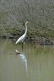 Большой egret Стоковое фото RF