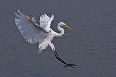 Большой egret Стоковое Фото