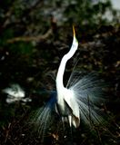 Большой Egret стоковые изображения rf