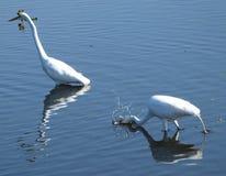 Большой Egret (ardea alba) Стоковая Фотография