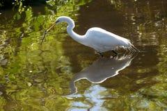 Большой egret wading с ветвью в своем счете в Флориде Стоковое Фото