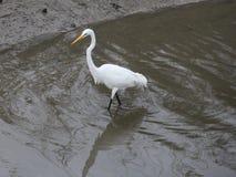 Большой Egret Wading Стоковое Изображение RF