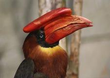 большой hornbill стоковое фото