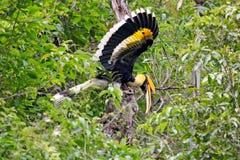 большой hornbill Стоковые Изображения RF