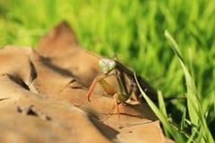 Большой mantis на предпосылке зеленой травы Стоковые Изображения RF