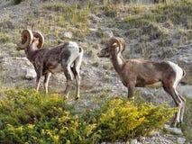 Большой Ram Thinhorn овец рожка Стоковое Изображение RF