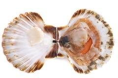Большой scallop Стоковые Фото