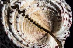 большой seashell Стоковое Изображение