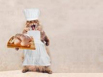 Большой shaggy кот очень смешное положение, кашевар 11 Стоковое Изображение