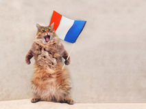 Большой shaggy кот очень смешное положение Франция, флаг 3 Стоковые Изображения