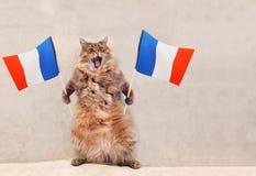 Большой shaggy кот очень смешное положение Франция, флаг 1 Стоковое фото RF