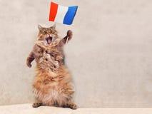 Большой shaggy кот очень смешное положение Франция, флаг 4 Стоковые Фотографии RF