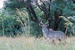 Большой strepsiceros Tragelaphus Kudu Стоковые Фотографии RF