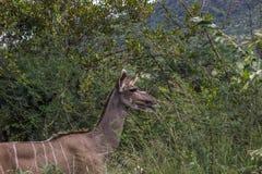 Большой strepsiceros Tragelaphus Kudu Стоковые Фото