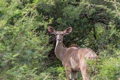 Большой strepsiceros Tragelaphus Kudu Стоковая Фотография RF