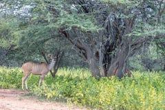 Большой strepsiceros Tragelaphus Kudu Стоковое фото RF