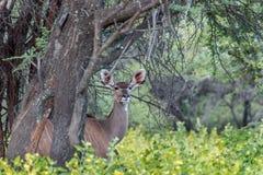 Большой strepsiceros Tragelaphus Kudu Стоковые Изображения