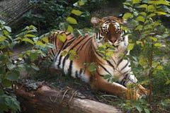 большой striped тигр хищник Стоковое Изображение