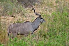 большой tragelaphus strepsiceros kudu Стоковые Изображения
