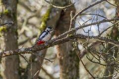 Большой woodpecker (майор Dendrocopos) Стоковая Фотография RF