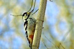 Большой woodpecker на стволе дерева Стоковое Изображение RF
