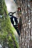 Больш-запятнанные woodpeckers подавая детеныши на гнезде Стоковое Фото
