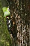 Больш-запятнанный подавать woodpeckers Стоковое фото RF