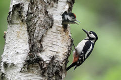 Больш-запятнанный woodpecker, майор Dendrocopos стоковая фотография rf