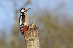 Больш-запятнанный woodpecker, майор Dendrocopos Стоковое Фото