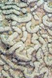 Больш-калиброванный коралл мозга Стоковое фото RF