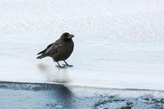 Больш-представленная счет ворона на льде Стоковые Фотографии RF