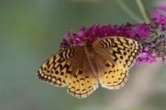 Больш-украшанный блестками рябчик на бабочке Буше Стоковые Изображения RF