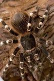 бразильская белизна tarantula колена Стоковое фото RF