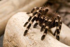 бразильская белизна tarantula колена Стоковые Фотографии RF