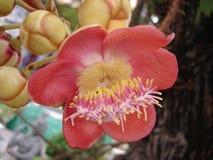 бразильская гайка цветка Стоковое Изображение