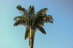 Бразильская пальма стоковое изображение rf