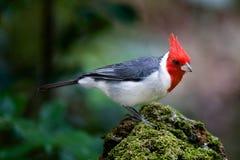 бразильский cardinal Стоковые Фото