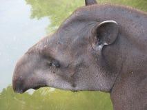 бразильский tapir Стоковое фото RF