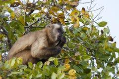 Бразильская обезьяна Capuchin в дереве смотря поднимающий вверх на небе Стоковое Изображение