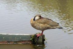 Бразильская утка или бразильский teal стоковое фото