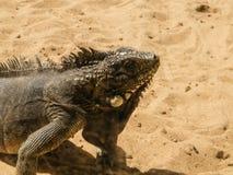 бразильская ящерица Стоковые Фото