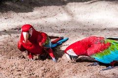 Бразильские птицы стоковая фотография