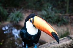 Бразильские птицы стоковые изображения rf