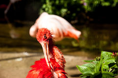 Бразильские птицы стоковая фотография rf