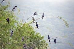 Бразильский баклан, птица очень общая в бразильских озерах Стоковые Фотографии RF