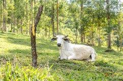 Бразильский бык в выгоне Стоковые Фото