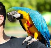 Бразильский человек с его арой любимчика Стоковые Изображения