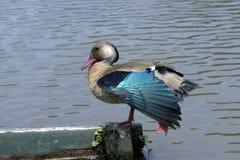 Бразильский teal суша красивые голубые пер крылов стоковые изображения rf